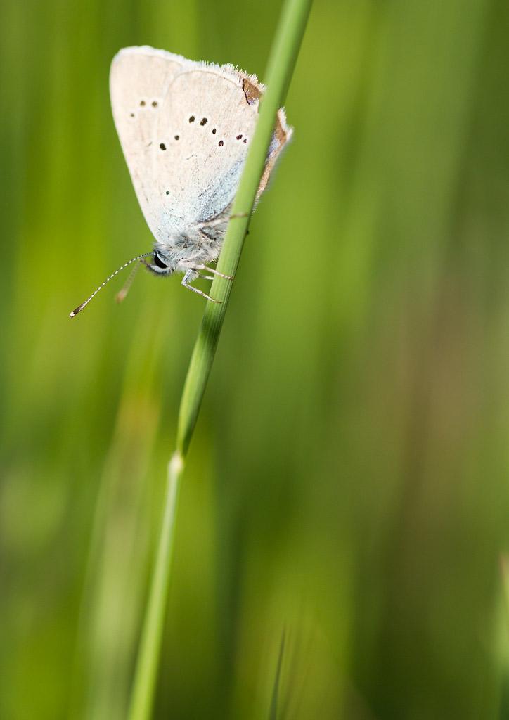 petit papillon brun: Cupido osiris _mg_9010