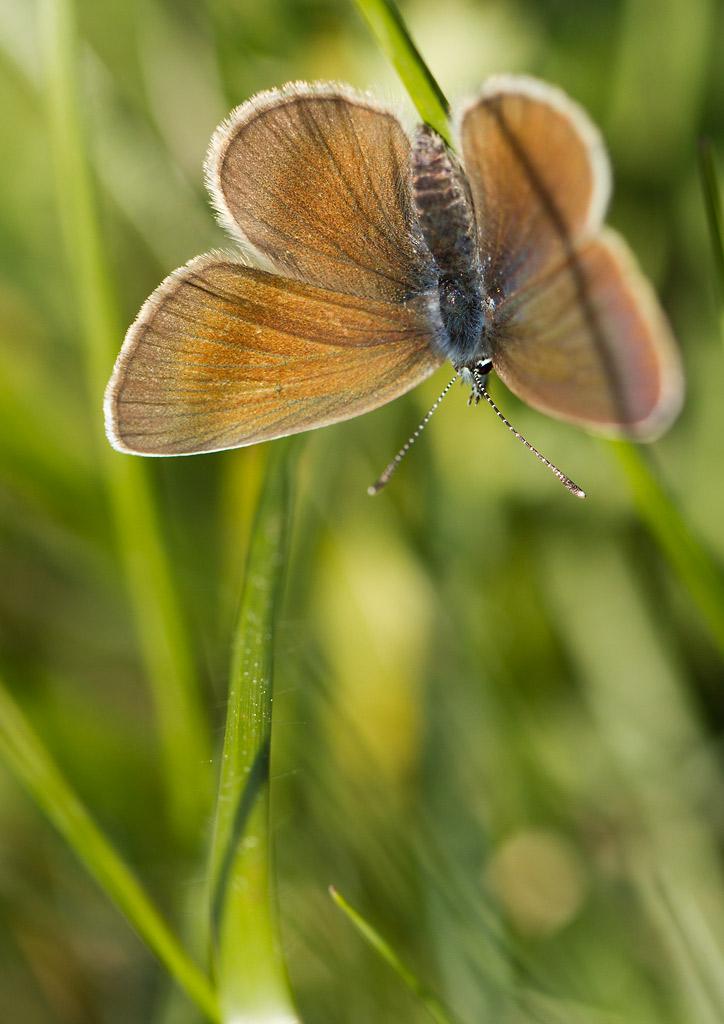 petit papillon brun: Cupido osiris _mg_9011