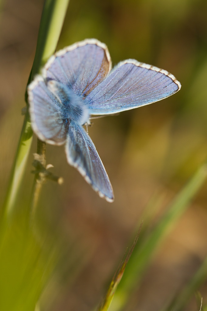 petit papillon brun: Cupido osiris Pap_bl10