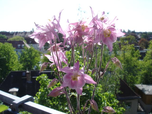 Blumen 2011 Akelei10