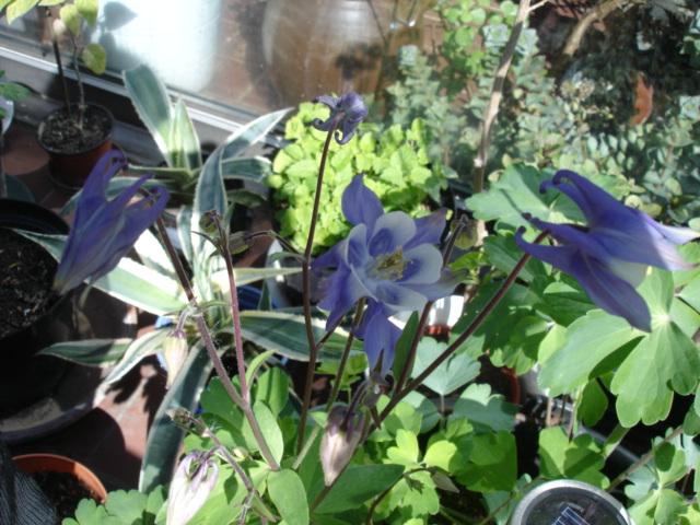 Blumen 2011 Akelei11