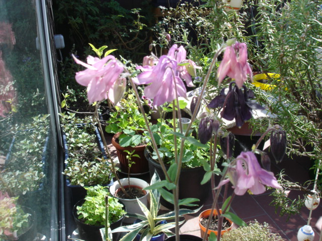 Blumen 2011 Akelei12