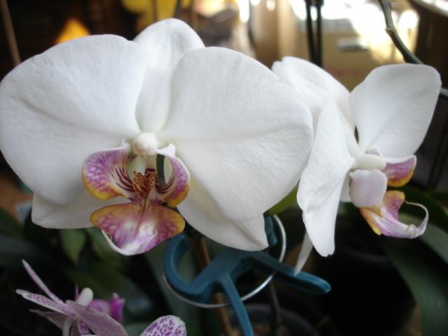Orchideenblüten 2011 Phalae11