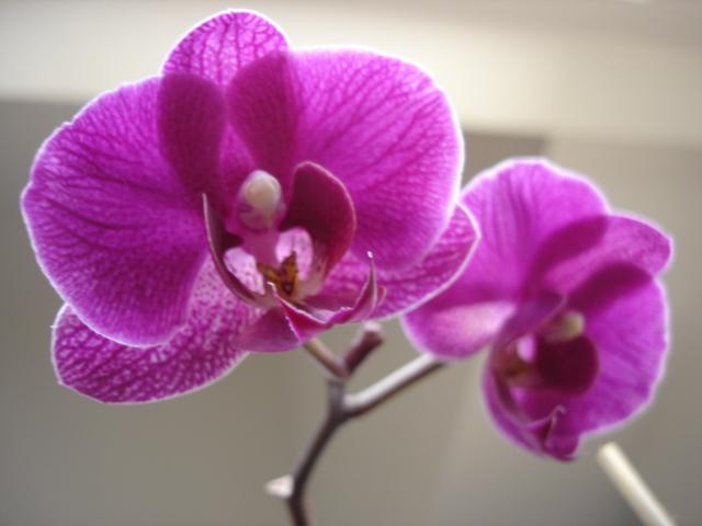 Orchideenblüten 2011 Phalae12