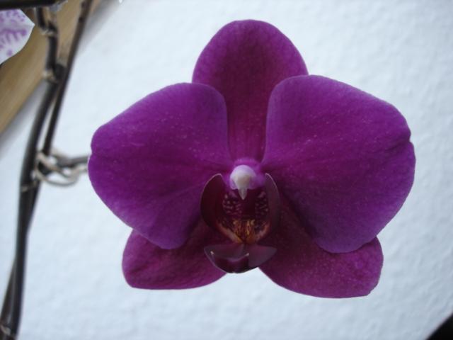 Orchideenblüten 2011 Phalae13