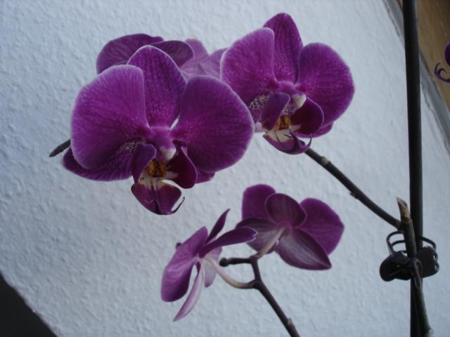 Orchideenblüten 2011 Phalae14