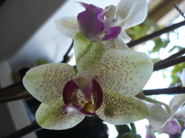 Orchideenblüten 2011 Phalae15