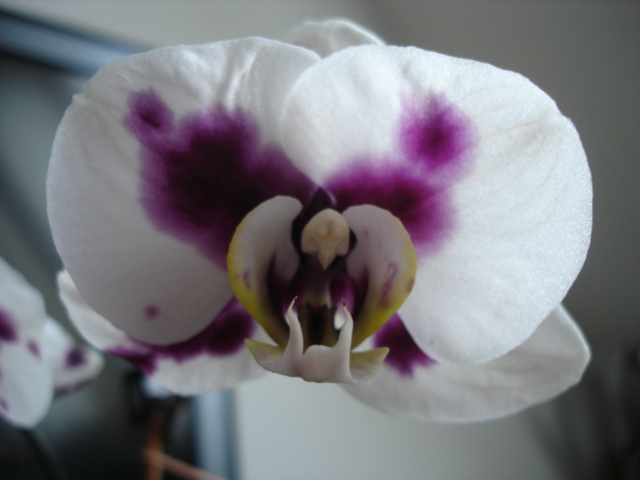 Orchideenblüten 2011 Phalae17