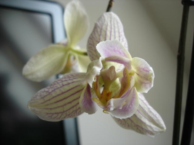 Orchideenblüten 2011 Phalae18