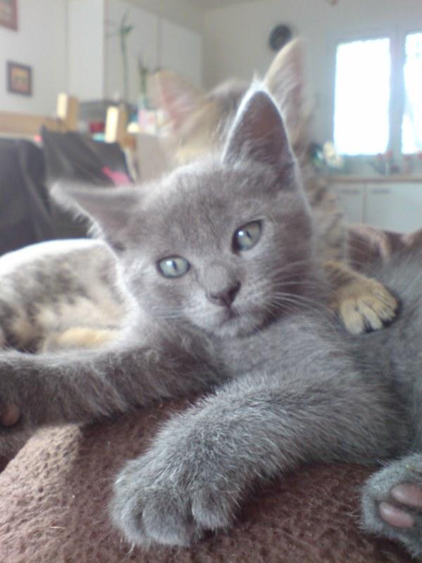 Perdu à Colomiers, chat typé chartreux Dsc01912