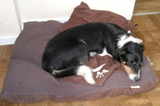 Jack - Border Collie, Dog (5 Years old).  22052011
