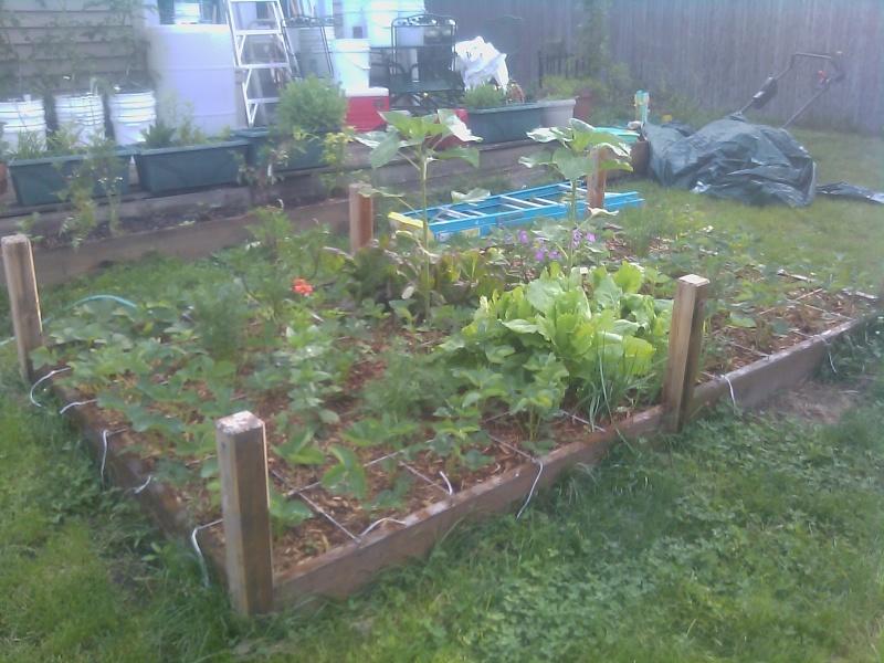 My First Garden Strawb10