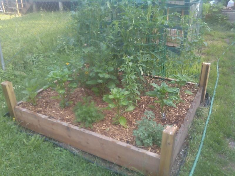 My First Garden Tomato10