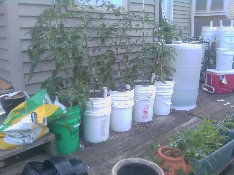 My First Garden Tomato11