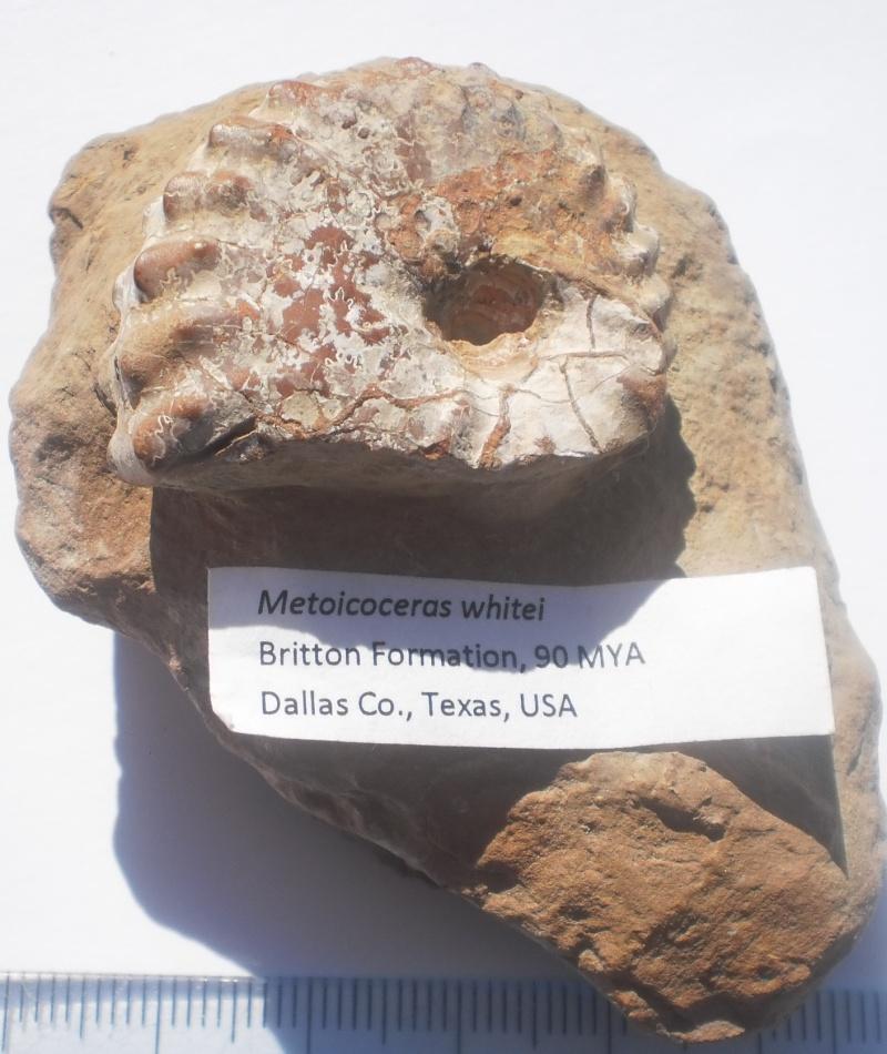 USA-Ammonites- P6161410