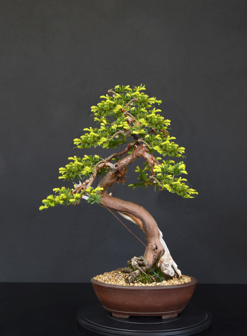 Taxus Baccata 0--fro10