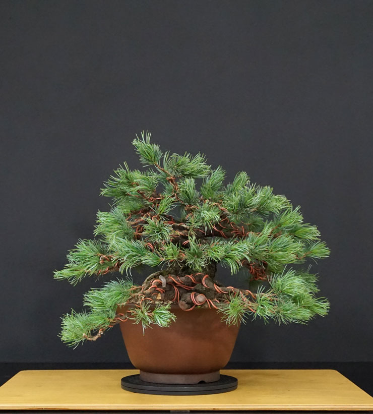 "Pinus Parviflora Var. ""Ibokan"" 10--la11"