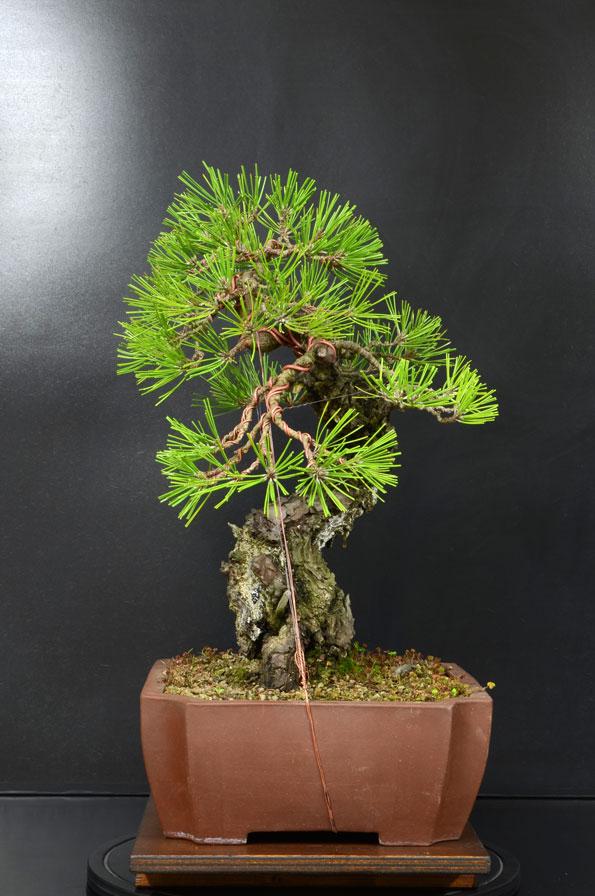 Pino Nero Giapponese - Pinus Thumbergii - Pagina 2 10_lat10