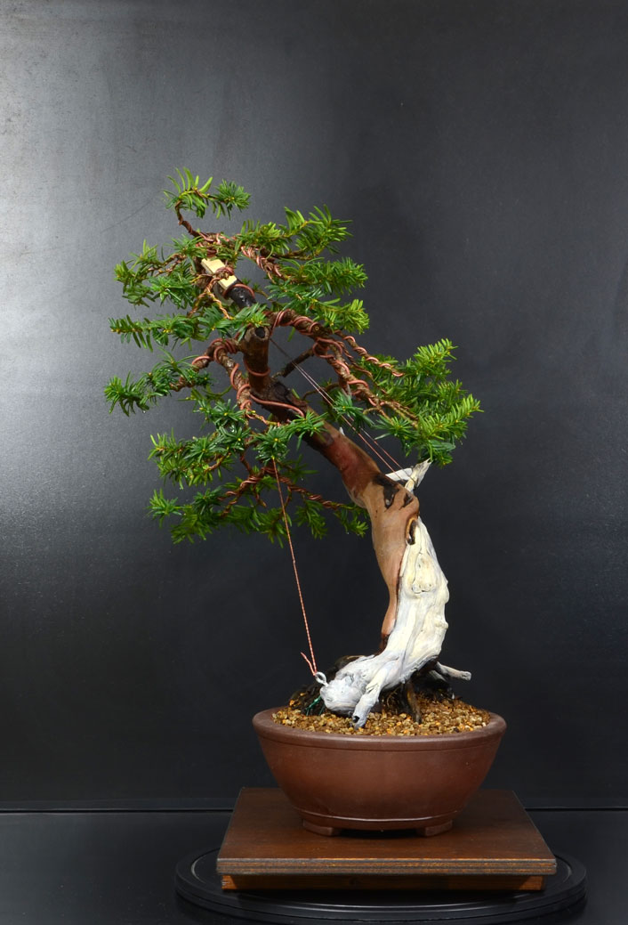 Taxus Baccata 10_lat11