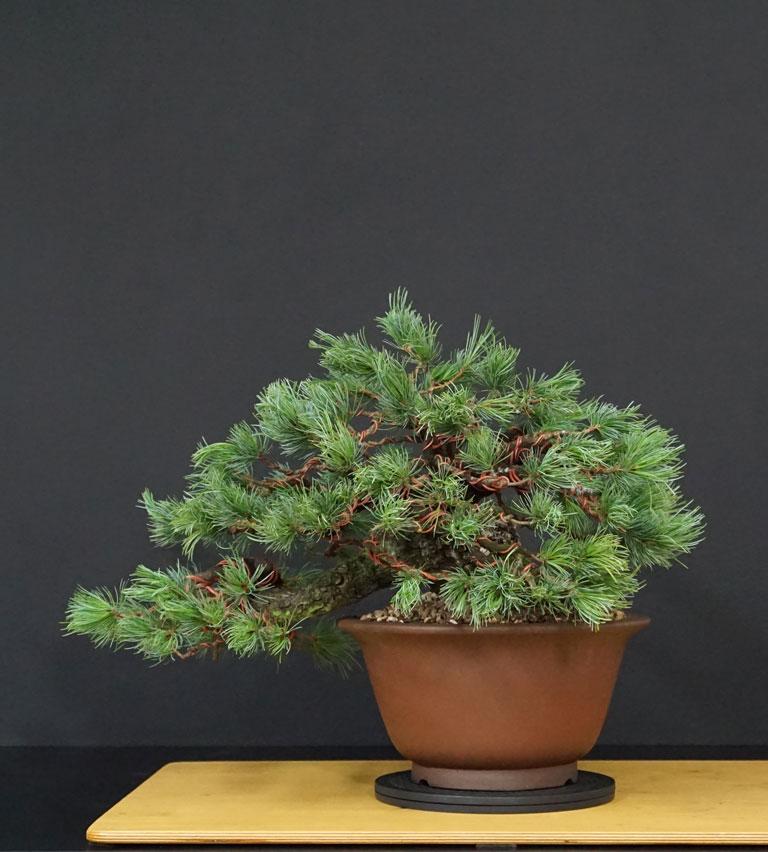 "Pinus Parviflora Var. ""Ibokan"" 11--re11"
