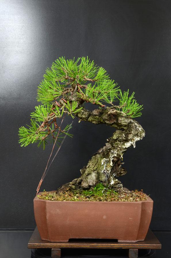 Pino Nero Giapponese - Pinus Thumbergii - Pagina 2 11_ret10