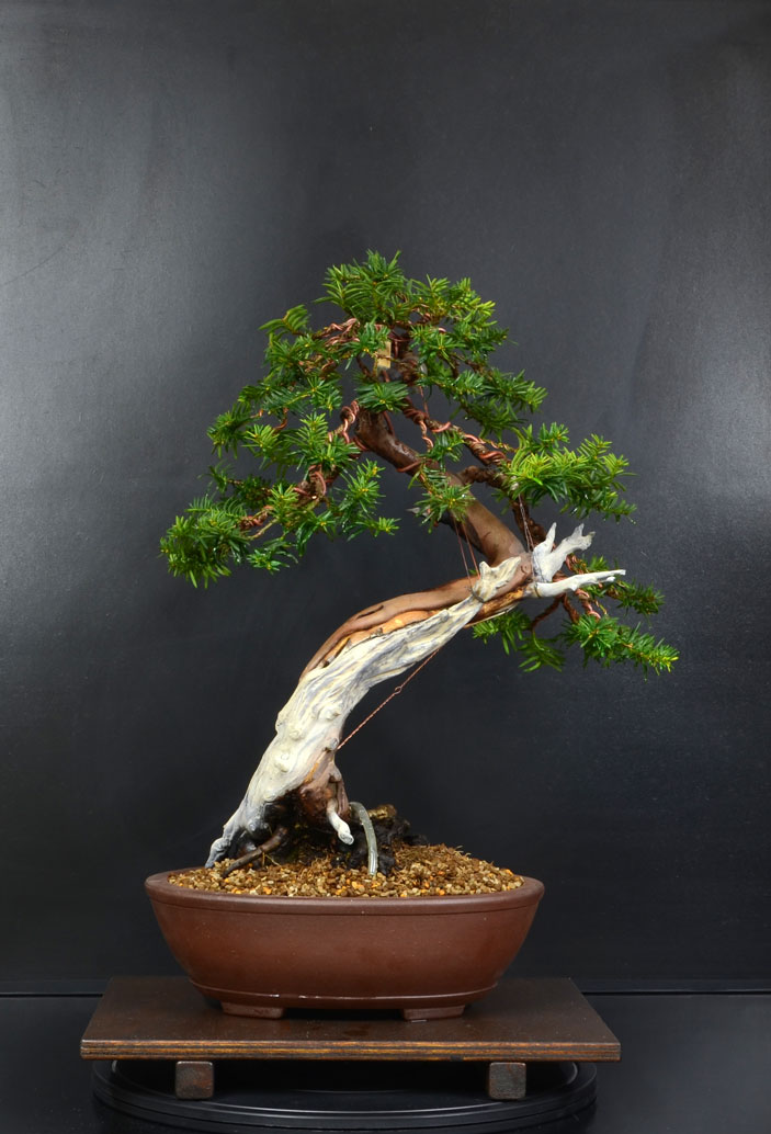 Taxus Baccata 11_ret12