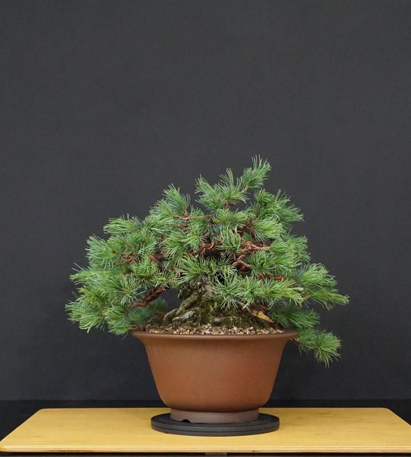 "Pinus Parviflora Var. ""Ibokan"" 12--la11"