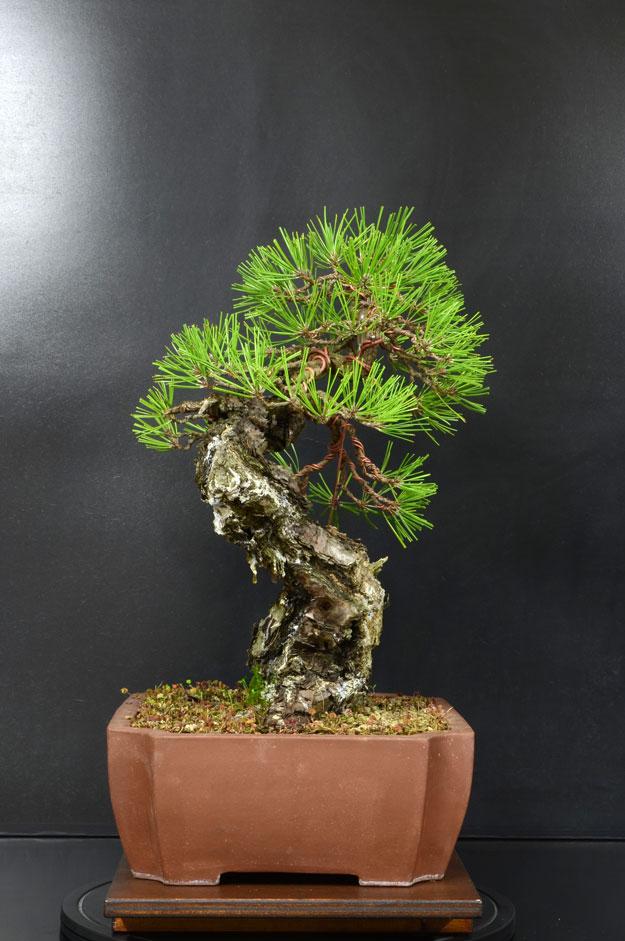 Pino Nero Giapponese - Pinus Thumbergii - Pagina 2 12_lat10