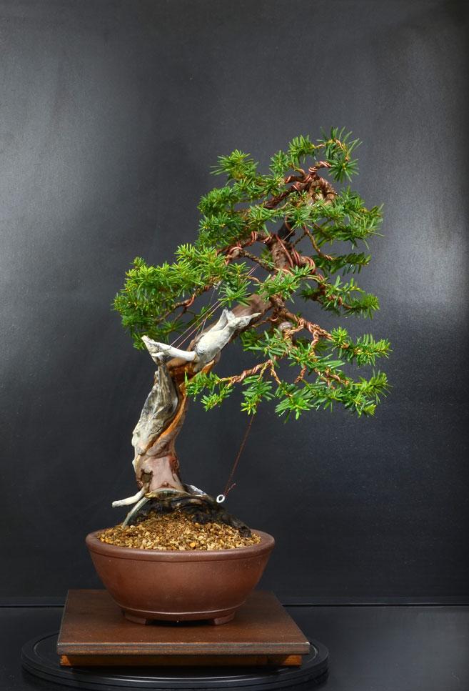 Taxus Baccata 12_lat11