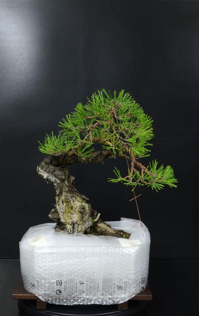 Pino Nero Giapponese - Pinus Thumbergii - Pagina 2 13_fro10