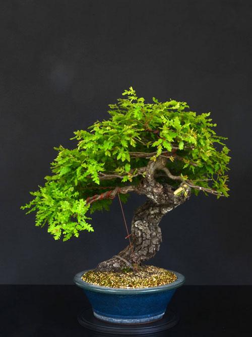 Quercus cerris - Pagina 8 14--fr10