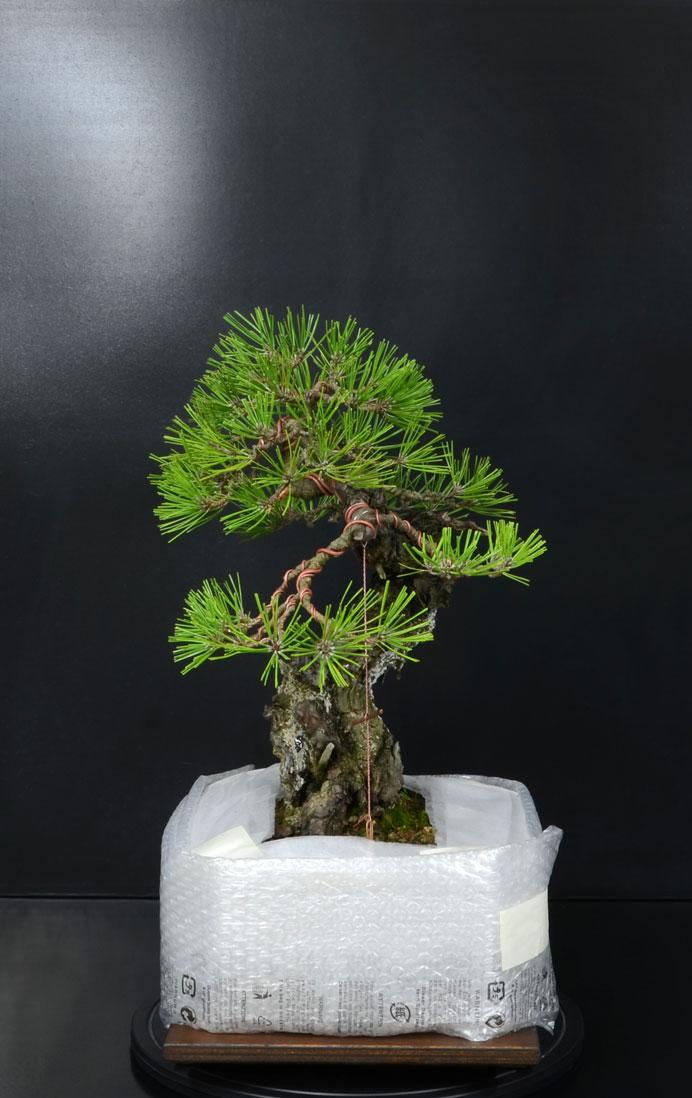 Pino Nero Giapponese - Pinus Thumbergii - Pagina 2 14_lat10
