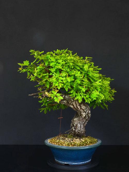 Quercus cerris - Pagina 8 15--la10
