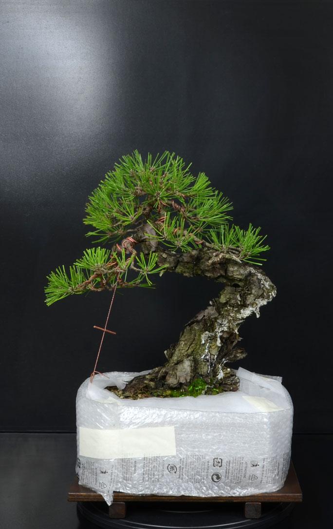 Pino Nero Giapponese - Pinus Thumbergii - Pagina 2 15_ret10