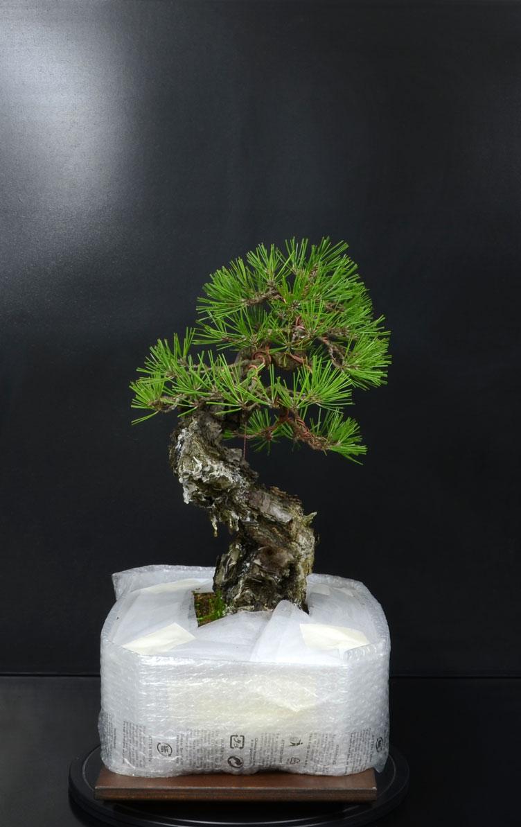 Pino Nero Giapponese - Pinus Thumbergii - Pagina 2 16_lat10