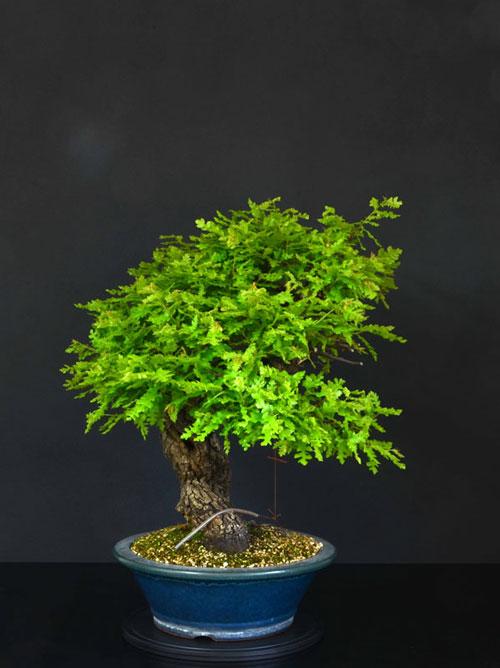 Quercus cerris - Pagina 8 17--la10