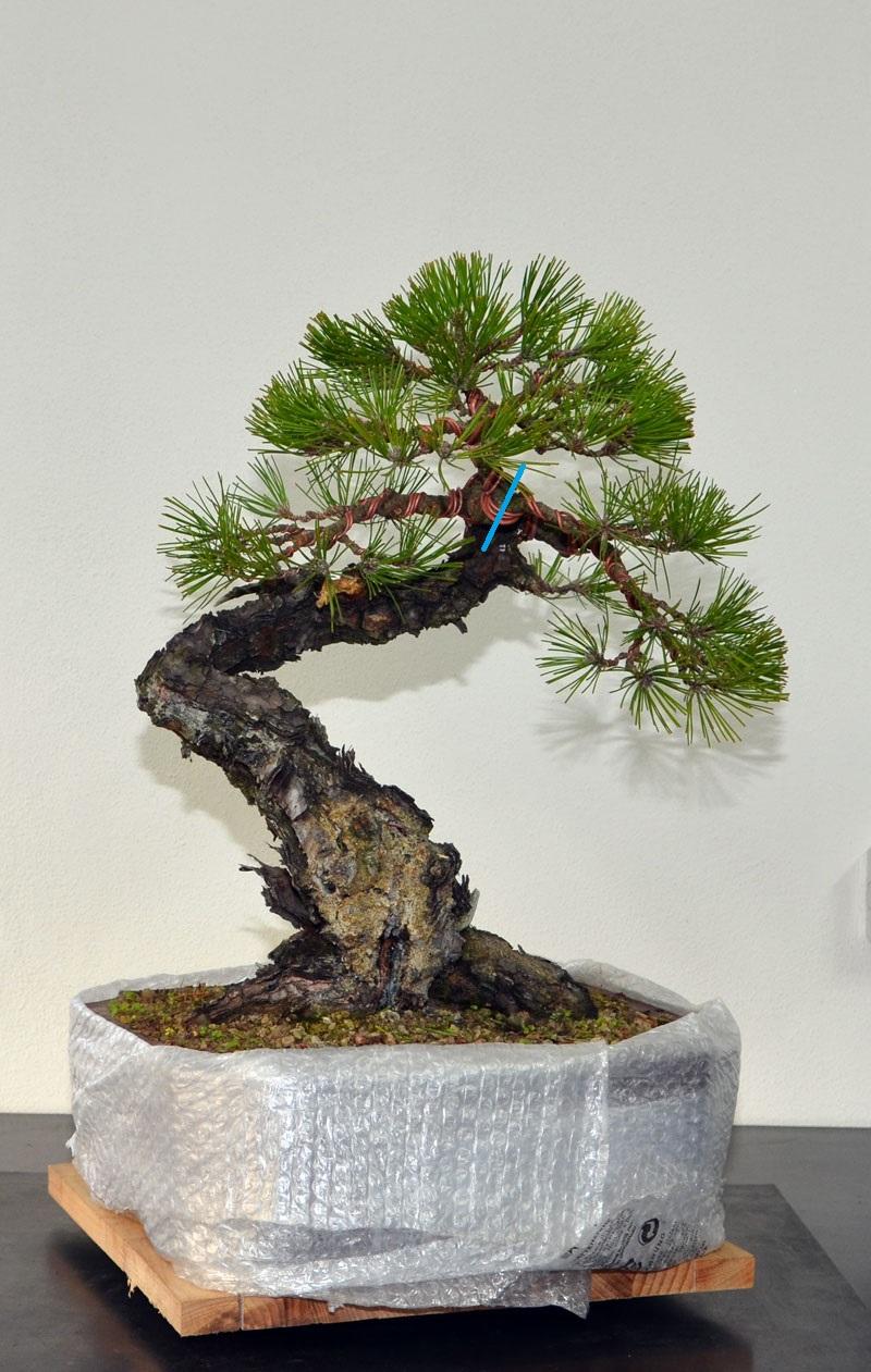 Pino Nero Giapponese - Pinus Thumbergii - Pagina 2 17_fro10