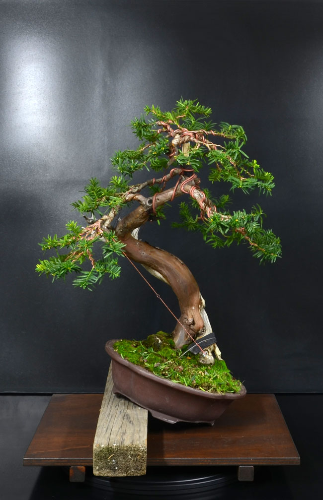 Taxus Baccata 1_fron10