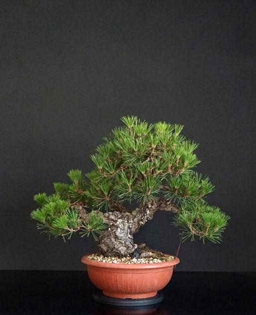 Pino Nero Giapponese 2 - Pinus Thumbergii 2 - Pagina 2 1_fron13