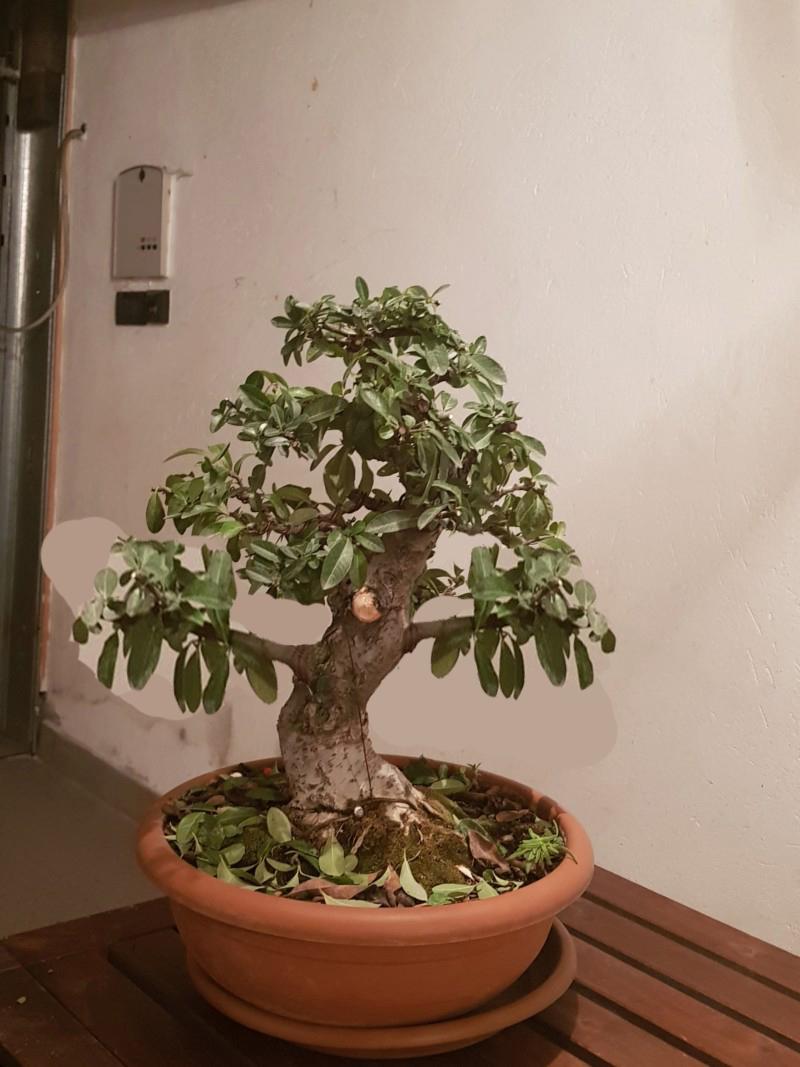 pyracantha 20181112