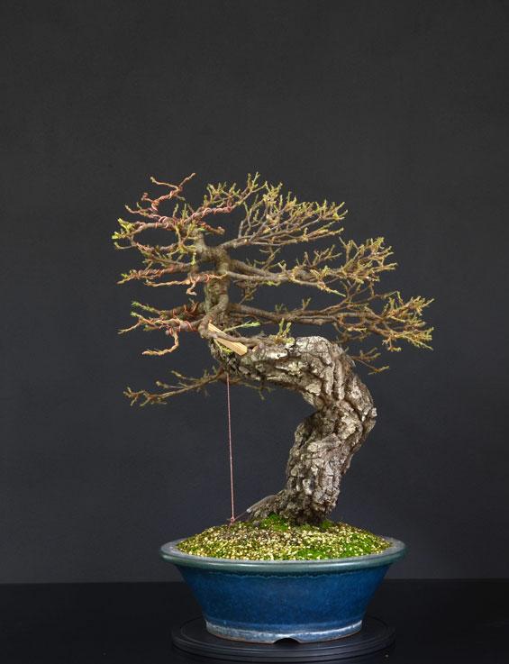 Quercus cerris - Pagina 9 27--la10