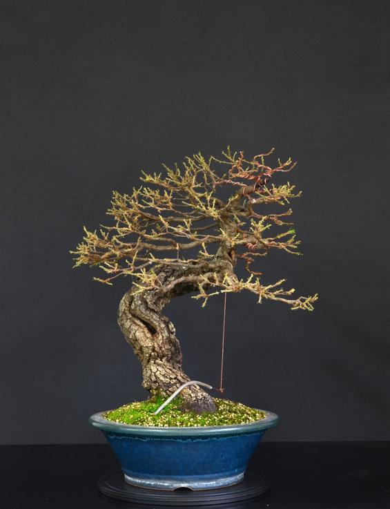 Quercus cerris - Pagina 9 29--la10