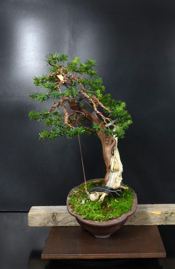 Taxus Baccata 2_lato10