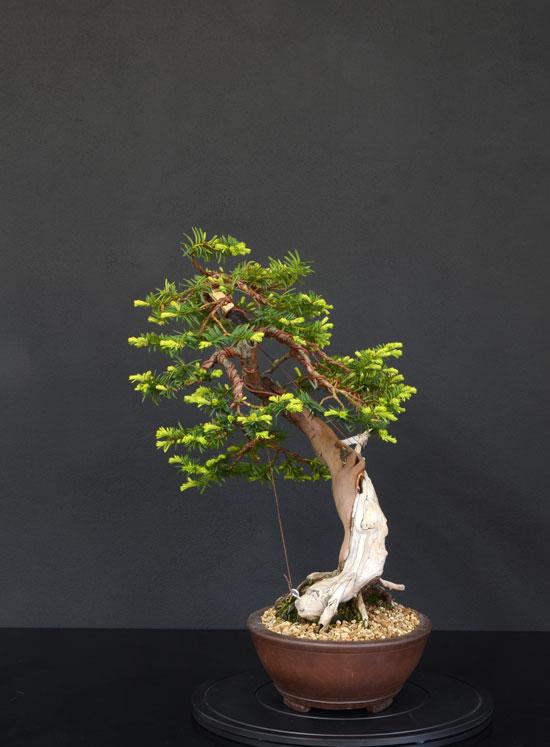 Taxus Baccata 2_lato11