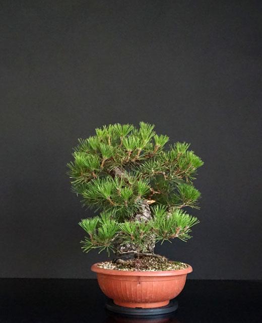 Pino Nero Giapponese 2 - Pinus Thumbergii 2 - Pagina 2 2_lato13