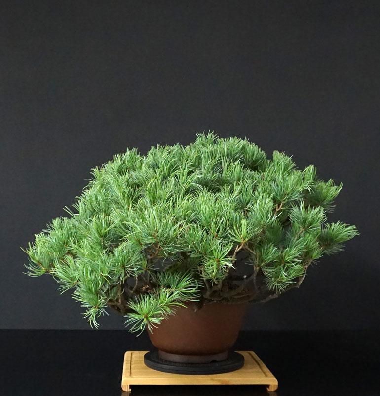 """Pinus Parviflora Var. """"Ibokan"""" 2_lato18"""