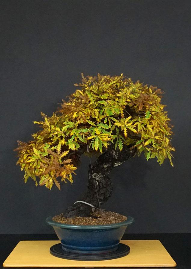 Quercus cerris - Pagina 10 35--fr10