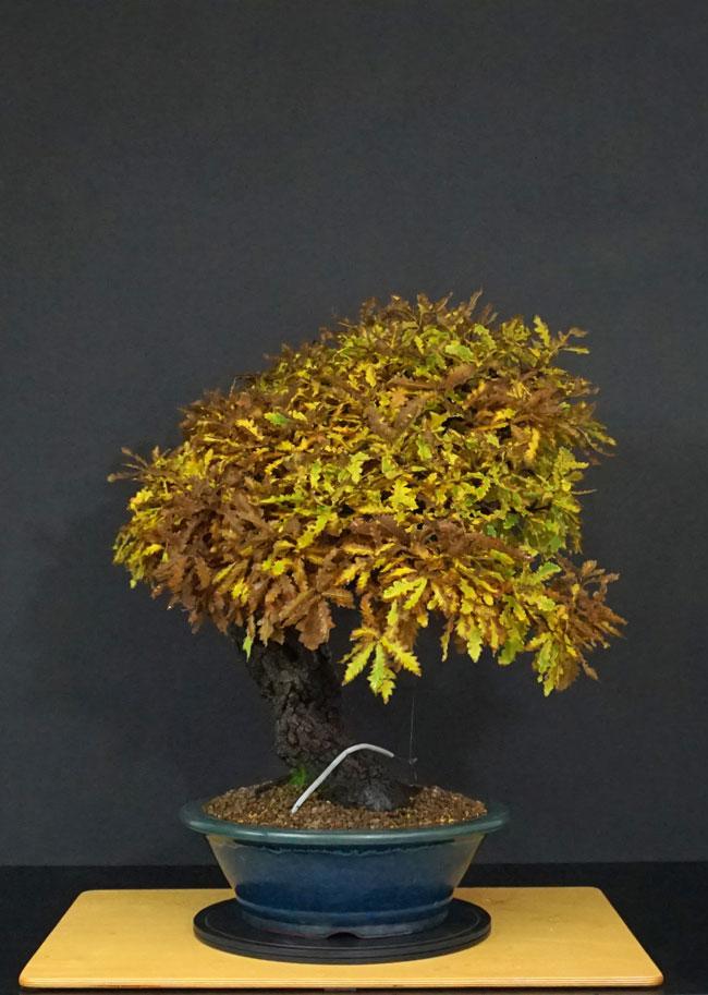 Quercus cerris - Pagina 10 38--la10