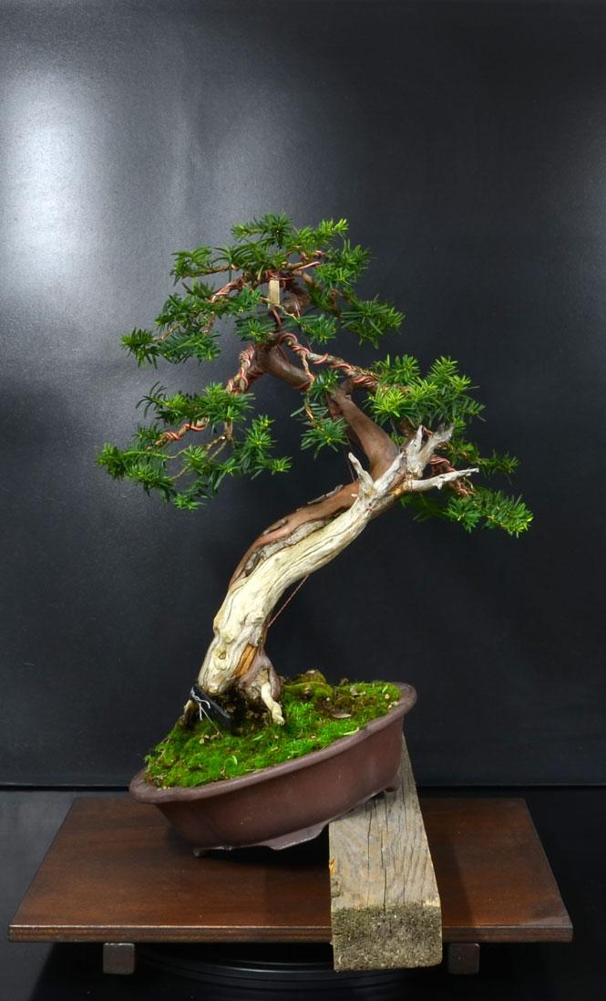 Taxus Baccata 3_retr10