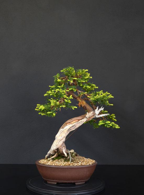 Taxus Baccata 3_retr11